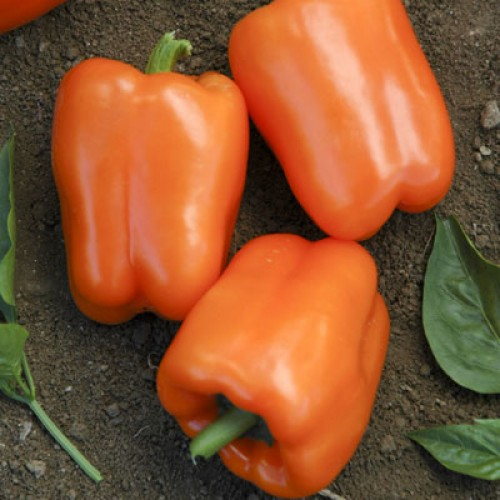 Pepper 'Orange Blaze'