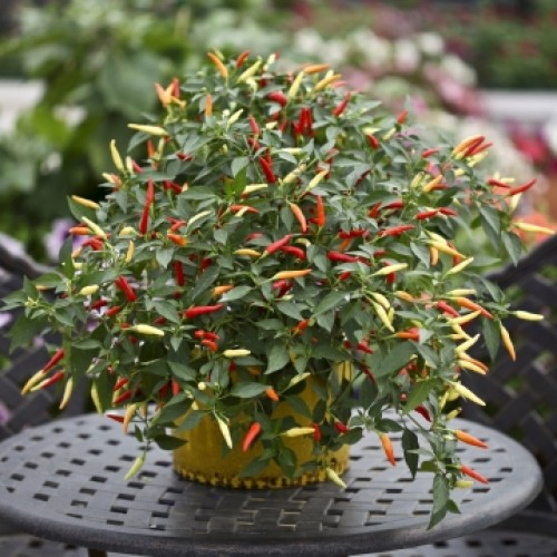 Pepper 'Basket of Fire'