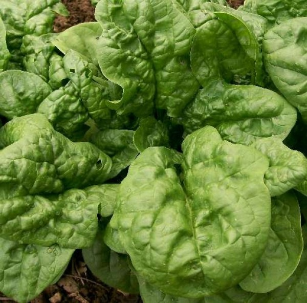 Spinach 'Bloomsdale'