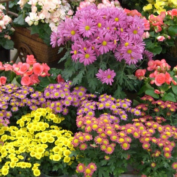 Flowering gift plants