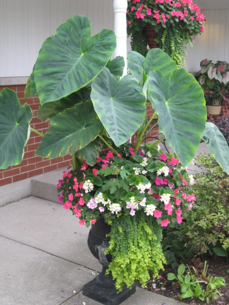 Elephant Ear COntainer