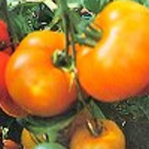 Tomato 'Jubilee'