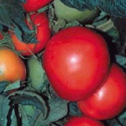 Tomato 'Rutgers'