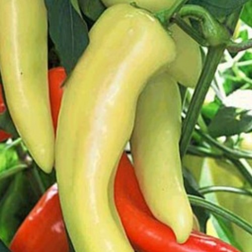 Pepper 'Hungarian Yellow Wax'