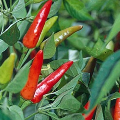 Pepper 'Super Chili'