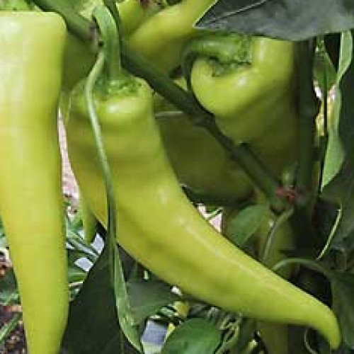Pepper 'Sweet Banana'