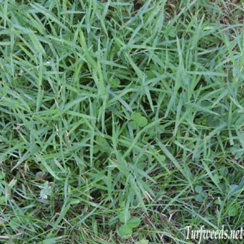 Common Bermuda Grass