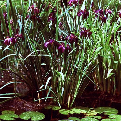 Blue FLag Iris