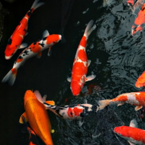 Goldfish and Koi