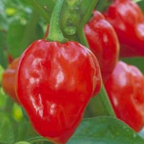 Pepper 'Habenero'